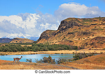 The graceful wild guanacos on the river bank