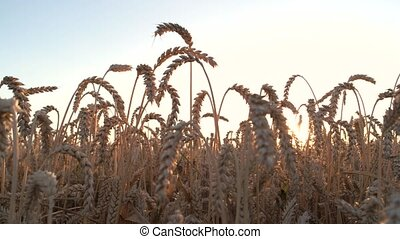 The grain wheat ears. Yellow wheat ears, evening sky.