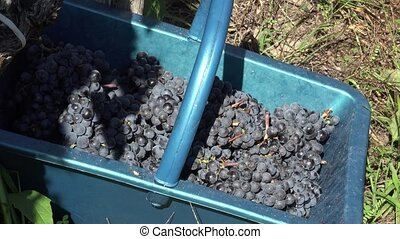 the grapes are deposited in basket