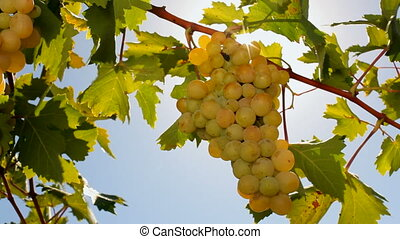 The grapes in the sun