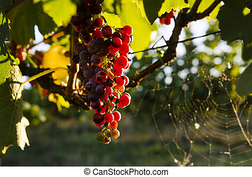 The grapes in the vineyard
