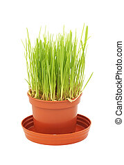 The grass grows in a pot.