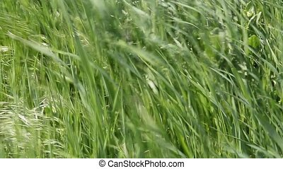 The grass in the wind