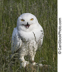 The grass tickles my tummy - Snowy Owl sitting in the tall...