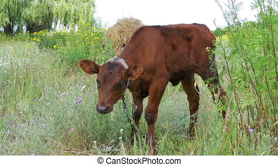 The Gray Calf Cow Graze in a Meadow - The gray calf cow...