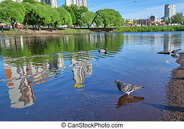 The gray pigeon stands in blue water against the background of r