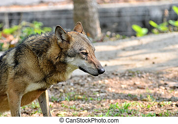 gray wolf - The gray wolf has very dense and fluffy winter...