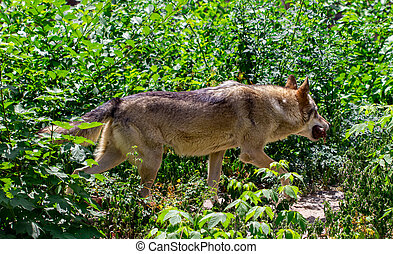 The gray wolf is running on the forest
