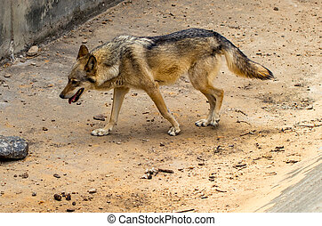 The gray wolf is running