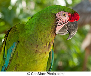 The Great Green Macaw, Ara ambiguus, also known as...