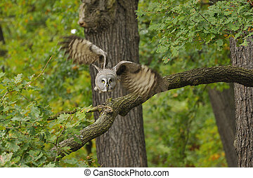 The Great Grey Owl or norge Owl, Strix nebulosa