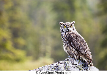 The Great Horned Owl Bubo virginianus - The Great Horned Owl...