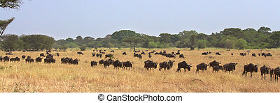 The Great Migration of wildebeests (Connochaetes taurinus) in Serengeti, Tanzania
