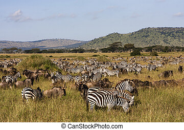 The Great Migration - Zebras and wildebeests in the...