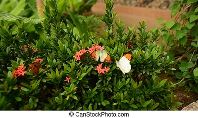 The Great Orange Tip butterfly, beautiful butterfly in...