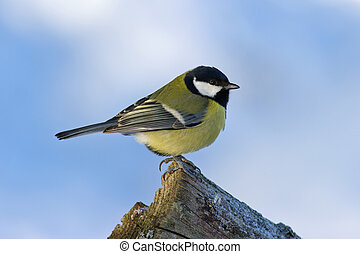 Great Tit (Parus major) on the edge