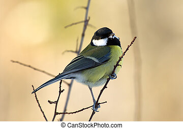 Great Tit (Parus major) on the twig