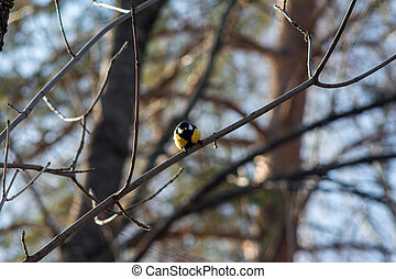 The great tit sits on a bare branch of a tree illuminated by sunlight and looks into the camera in readiness to fly away