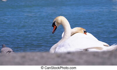 The Great White Swan, Cygnus Olor, Sits by the Blue Lake....