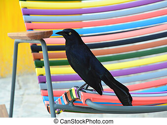 The Greater Antillean grackle