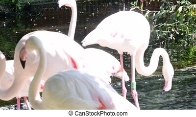 The greater flamingo Phoenicopterus roseus is the most...