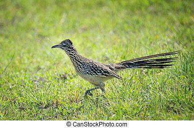 The greater roadrunner bird running through the grass - The...