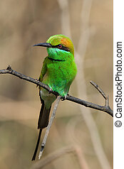 The Green Bee-eater, Merops orientalis, (sometimes Little Green Bee-eater) is a near passerine bird in the bee-eater family. It is resident but prone to seasonal movements and is found widely distributed across sub-Saharan Africa from Senegal and The Gambia to Ethiopia, the Nile valley, western ...