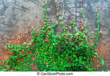 The Green Creeper On Wall