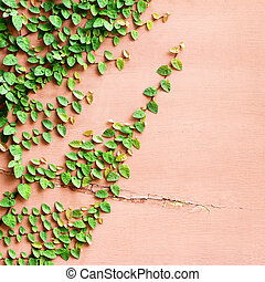 The Green Creeper Plant on the Wall Background