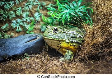 green frog in terrarium in the resort Vinpearl