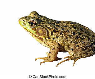 The GREEN FROG isolated on white