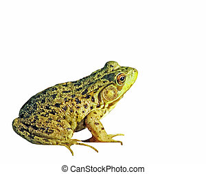 The GREEN FROG isolated white