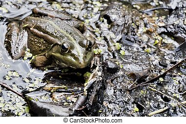 the green frog looks at the photographer