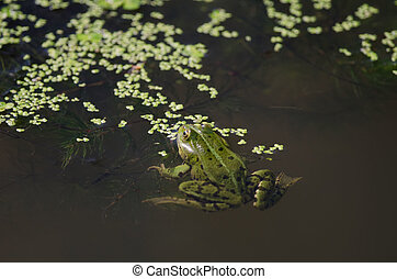 the green frog