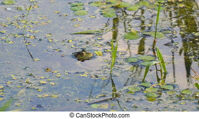 The green frog sits motionless in the water. Frog's head...