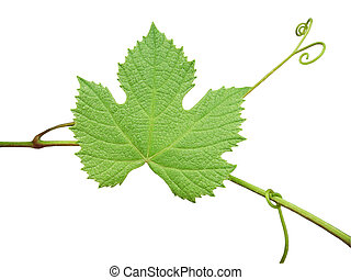 The green grape leaf on a white background