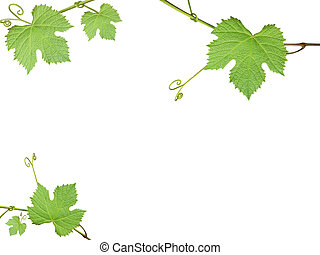 The green grape leaves on a white background
