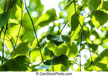 The green leaves of a birch