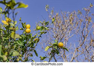 The green lemon on the tree in garden.