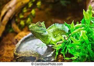 The green lizard in a terrarium at resort Vinpearl