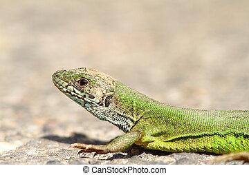 the green lizard