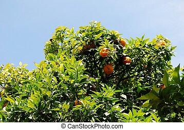 The green orange tree in blue sky background