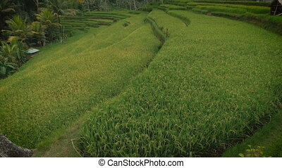 the green plantation rice field view with small wooden...