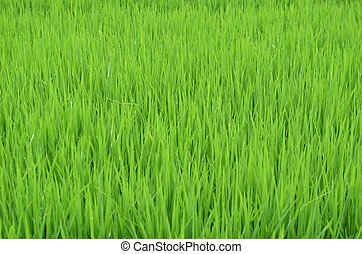 the Green rice in the field rice background