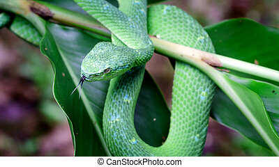 The green snake disguise itself in the leaves