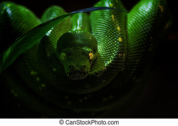 The green tree python on the black background