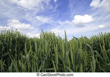 the green wheat