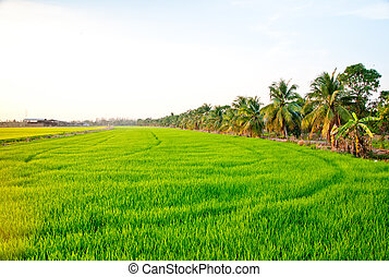The Green young rice in the field rice