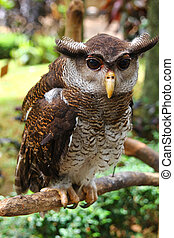 eagle-owl - The grey eagle-owl in the forest