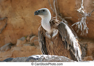 The Griffin Vulture